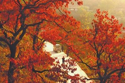 背景 壁纸 枫叶 红枫 绿色 绿叶 树 树叶 植物 桌面 400_265
