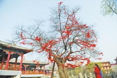 """洛阳最""""长寿""""古树柘桑树 2800岁鲜活依旧"""