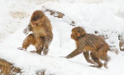 两个可爱的小猴子也要在雪地上撒点野