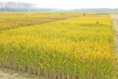 南粳9108稻种价格?_金粳818稻种多少钱一斤_南粳9108稻种1斤多少钱