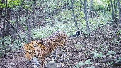 春暖花開,曾經在濟源太行山區多次出鏡的金錢豹,再次入鏡!