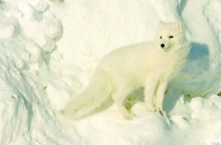 雪狐……机灵可爱