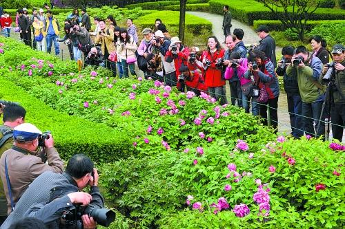 4月5日,在洛阳隋唐城遗址植物园九色台景区,游客聚焦绽放的牡丹.