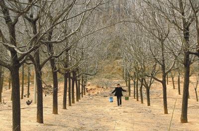 上世纪90年代栽植的美国黑核桃树已长大成林.
