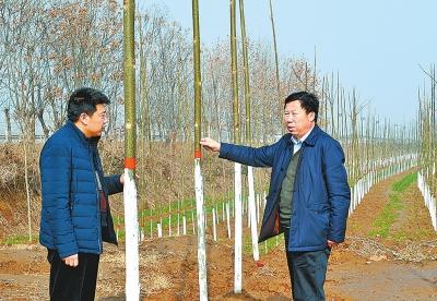 侧新种植的泡桐树