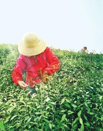 一片叶子,加入水中,改变了水的味道.生活,因为茶,变得更加饱满.