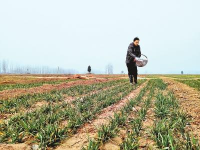麦田施肥浇水保夏粮丰收