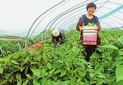 辣椒种植 菜农增收