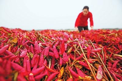 辣椒产业带动农民增收