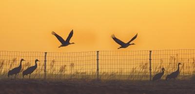 数批南迁候鸟在中牟狼城岗镇黄河滩区逗留休整