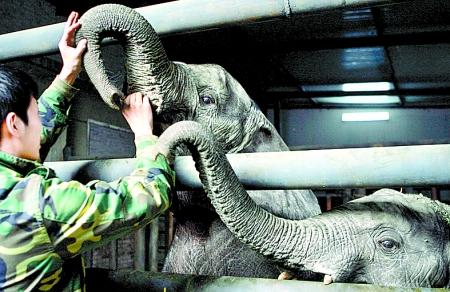 这也宣告了两只非洲象正式落户郑州动物园