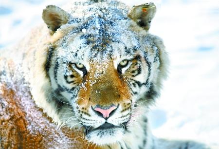 在自然生态中,虎处于食物链的顶端