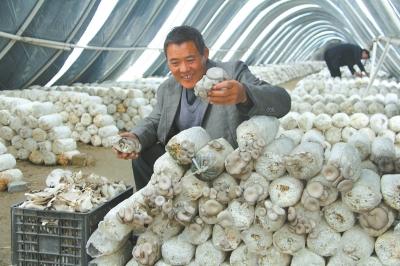 大棚种植黑平菇和台湾袖珍菇等