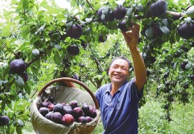 夏馆镇大栗坪村2000亩黑布林(李子的一种)种植基地内