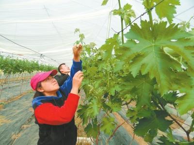 商水经济果林促脱贫