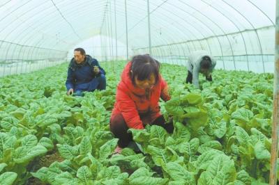 光山县贫困户种植增收万元