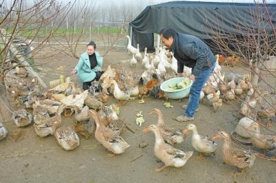 商水县 林下养殖效益高