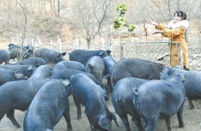 返乡大学生养猪带动农民养殖致富