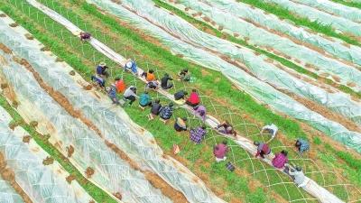"""?#25628;?#21457;展""""芳香""""产业助农脱贫增收"""