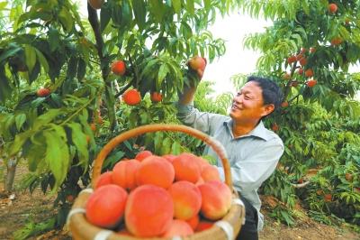 有机甜桃采用生物防治新技术防治病虫害