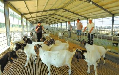 勞模團隊引導貧困戶發展綠色養羊