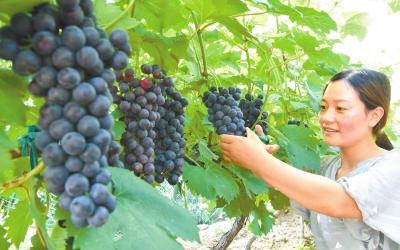 靈寶 早熟葡萄搶鮮上市