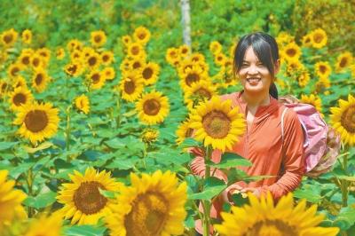向阳花开迎丰收