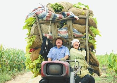 汝阳县 抢采烟叶乐开怀