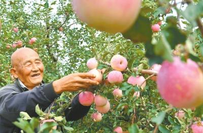 苹果丰收农民笑颜