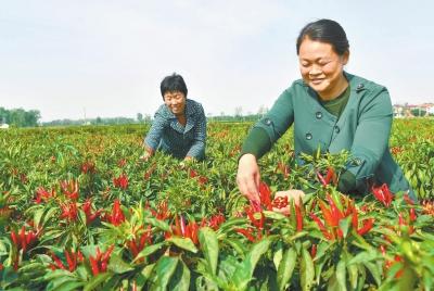 辣椒红收入增