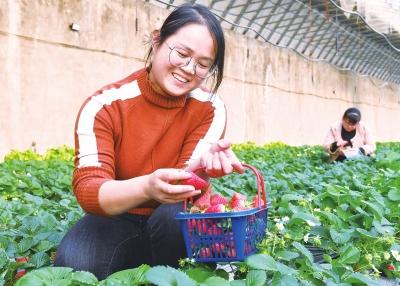 草莓经济助农增收