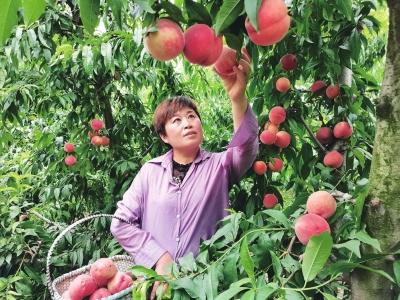 正阳县水蜜桃种出甜蜜生活