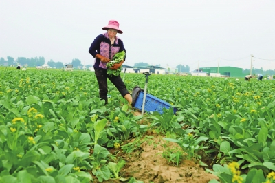 """柘城县依托""""万亩菜园""""发展相关农业项目"""