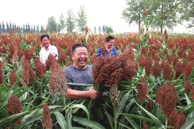 襄城:订单红高粱增收有保障