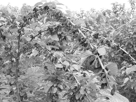 桑椹树木质纹理图