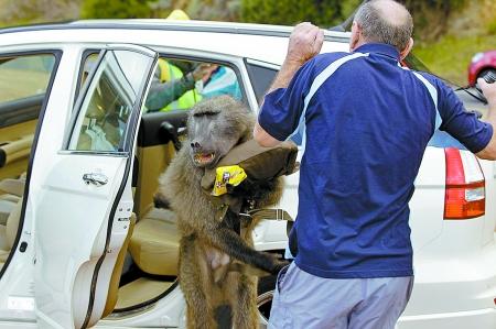 南非狒狒成劫匪游客惊魂狒狒&quot摘桃&quot狒狒打劫