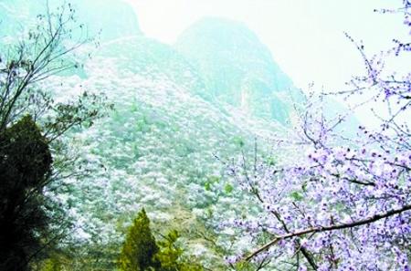 游秋沟赏河南面积最大的山桃花