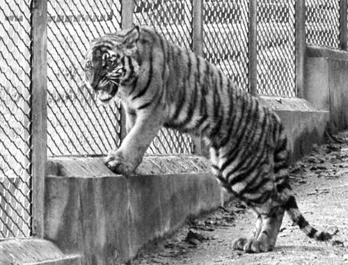 重庆市动物园引进的一只小华南虎(12月2日摄)