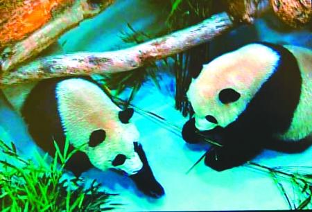 """""""团团""""""""圆圆""""抵达台北动物园"""