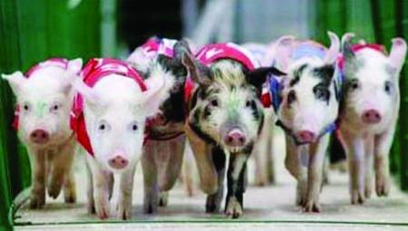 小猪快变瘦表情包分享展示图片