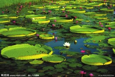 快来看吧紫荆山公园王莲开花了