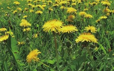 花》里看见过它开着小黄花